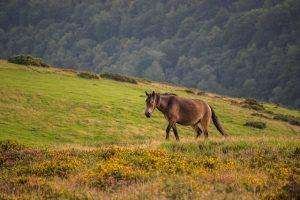 pony on exmoor